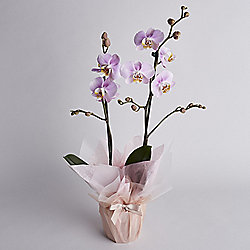 Orchid Gift