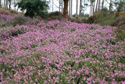 winter heath (Erica carnea 'Rosalie')