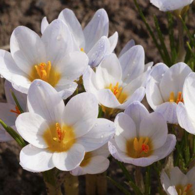 60 x Crocus 'Ard Schenk' Bulbs - Perennial Spring Flowers (Corms)