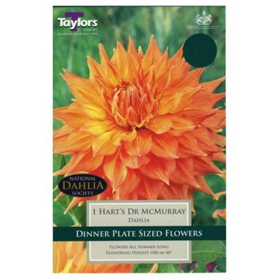 1x Dinner Plate Dahlia 'Hart's Dr McMurray' Summer Flowering Bulb