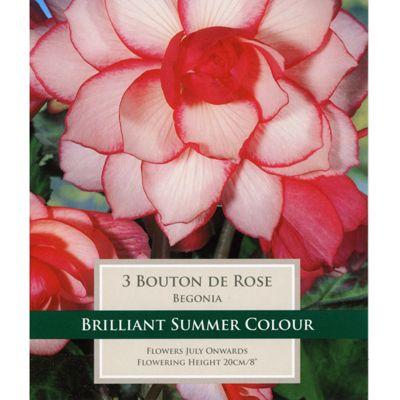 3 x Begonia 'Bouton de Rose' - Perennial Pink Summer Flowers (Tubers)