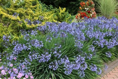 African lily (Agapanthus 'Castle of Mey')