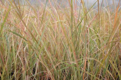 pheasant's tail grass (syn. Stipa arundinacea) (Anemanthele lessoniana)