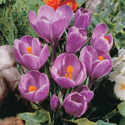 30 x Crocus 'Grand Maitre' Bulbs - Perennial Spring Flowers (Corms)