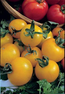 tomato (tomato 'Golden Sunrise')