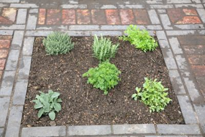 herb collection - mint, rosemary, thyme, parsley, sage & chives or lavender (Herb collection (6 mixed herbs))