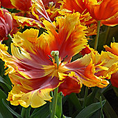 10 x Tulip 'Bright Parrot' Bulbs - Perennial Late Spring Flowers