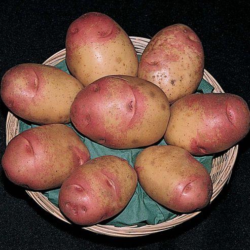 Potato 'Cara' - 10 tubers