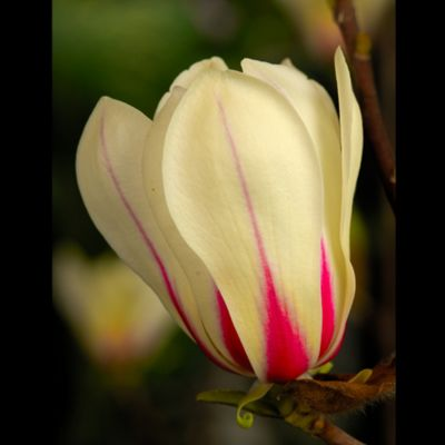 Magnolia 'Sunrise' - 1 bareroot plant