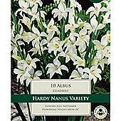 10 x Gladioli 'Albus' Bulbs - Perennial White Summer Flowers (Corms)