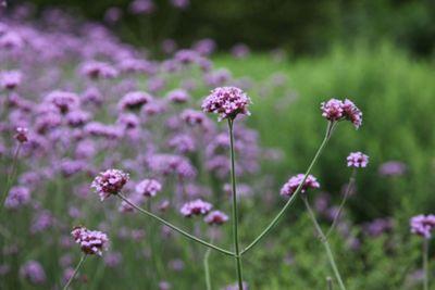 verbena (Verbena bonariensis)