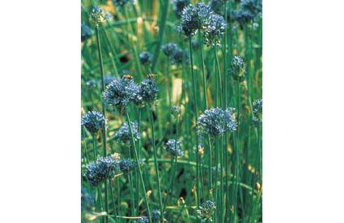allium bulbs (Allium caeruleum)
