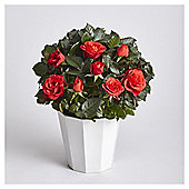 Red Rose in Ceramic Pot