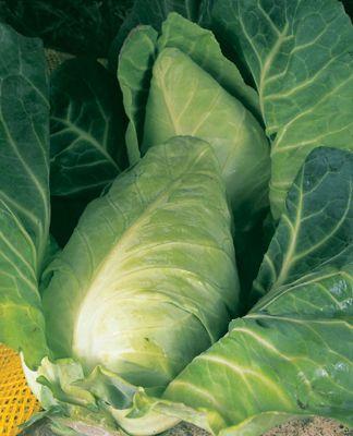 cabbage (cabbage 'Durham')