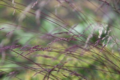 festuca (Festuca amethystina)