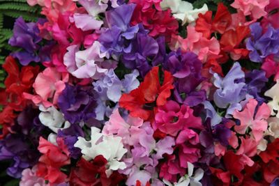 spencer sweet pea seed Spencer Waved Mix (Lathyrus odoratus 'Spencer Waved Mix')