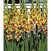 30 x Gladioli 'Jester' Bulbs - Perennial Yellow Summer Flowers (Corms)