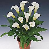 3 x Zantedeschia 'Siberia' Bulbs - Perennial White Calla Lily Summer Flowers (Corms)