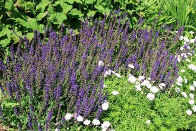 sage (syn. Salvia May Night) (Salvia ? sylvestris 'Mainacht')