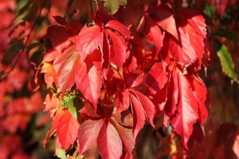 virginia creeper (Parthenocissus quinquefolia)