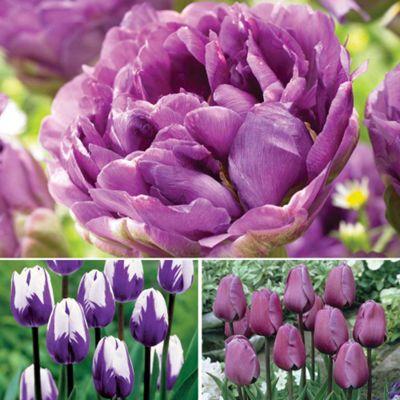 Tulip 'Purple Collection' - 33 bulbs - mixture