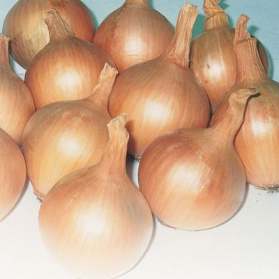 Onion 'Hercules' (Spring Planting) - 250g/50 sets