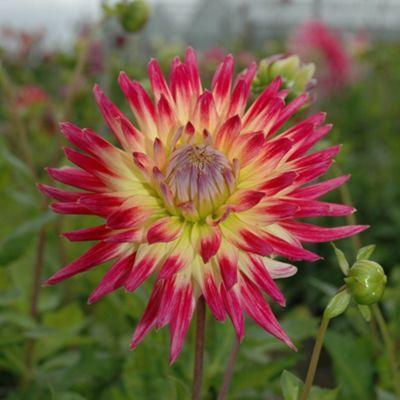 3 x Cactus Dahlia 'Tahiti Sunrise' Bulbs - Perennial Pink & Yellow Summer Flowers (Tubers)