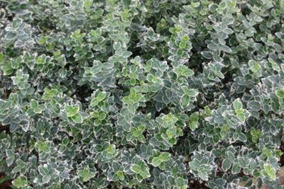 evergreen bittersweet (Euonymus fortunei 'Emerald Gaiety')