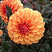 1x Bronze Leaf Dahlia 'David Howard' Summer Flowering Bulb