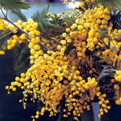 Acacia dealbata - 1 plant in 9cm pot
