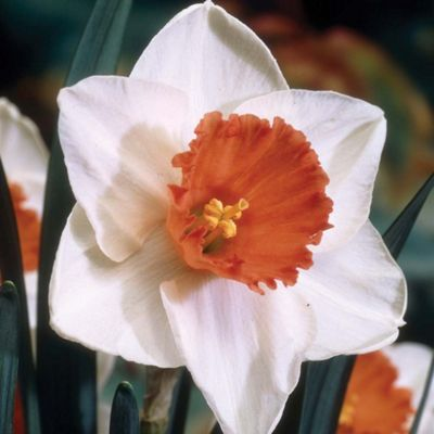 Narcissus 'Decoy Red' - 10 bulbs