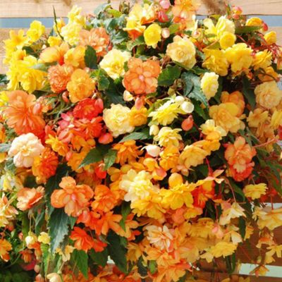 Begonia x tuberhybrida 'Apricot Shades' F1 Hybrid - 5 jumbo plugs