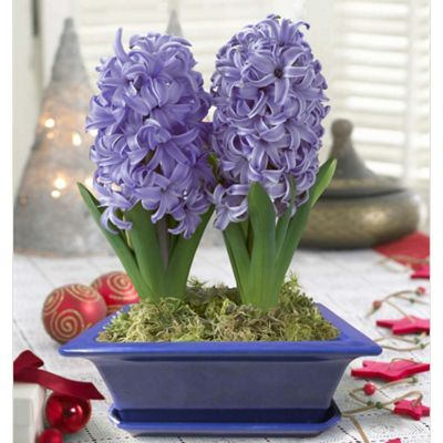 buy hyacinth delft blue 2 bulbs in a pot from our bulbs. Black Bedroom Furniture Sets. Home Design Ideas