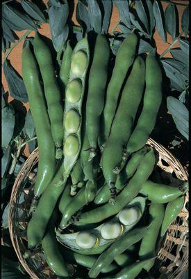 broad bean (broad bean 'The Sutton')