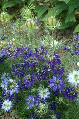 love-in-a-mist (Nigella damascena 'Oxford Blue')