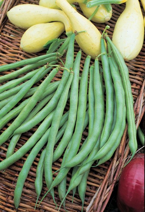 dwarf french bean (dwarf French bean 'Tendergreen')
