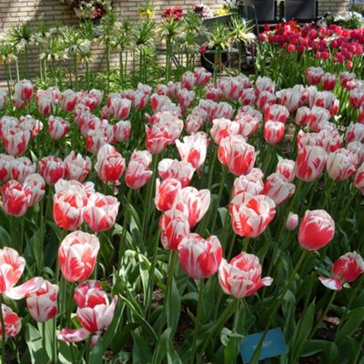 10 x Tulip 'Sorbet' Bulbs - Perennial Spring Flowers