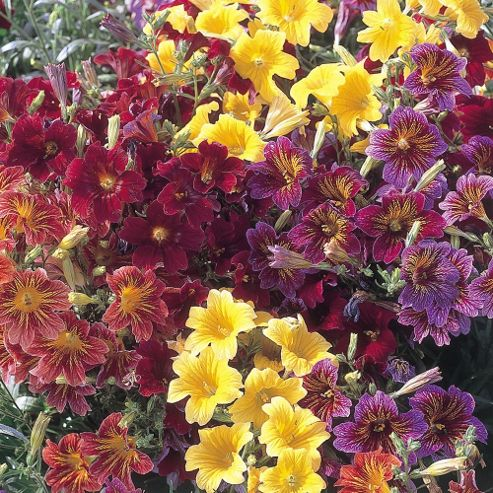 Salpiglossis sinuata 'Royale Mixed' F1 Hybrid - 36 plugs