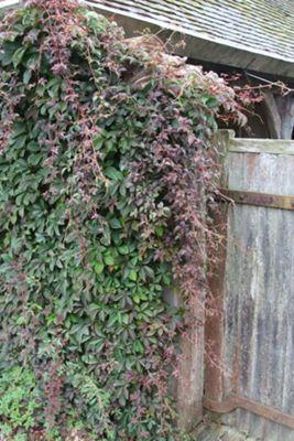 Chinese virginia creeper (Parthenocissus henryana)