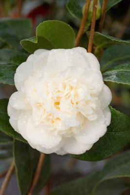 camellia (Camellia japonica 'Nobilissima')