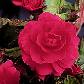 3 x Pink Double Flowered Begonia Bulbs - Perennial Summer Flowers (Tubers)