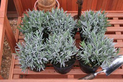 lavender promotion - 6 pack (Lavandula angustifolia)
