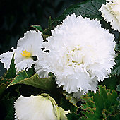 3 x White Fimbriata Begonia Bulbs - Perennial Summer Flowers (Tubers)