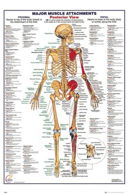 Human Body Major Muscle Attachments Posterior Poster