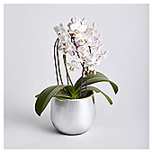 Finest Mini Cascading Orchid