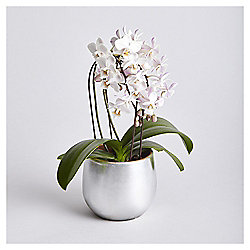 Scented Mini Cascading Orchid