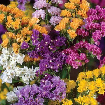 Limonium sinuatum (The Forever Flower) - 36 plugs