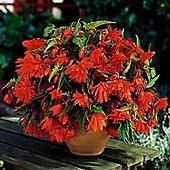 3 x Orange Pendula Begonia Bulbs - Perennial Summer Flowers (Tubers)