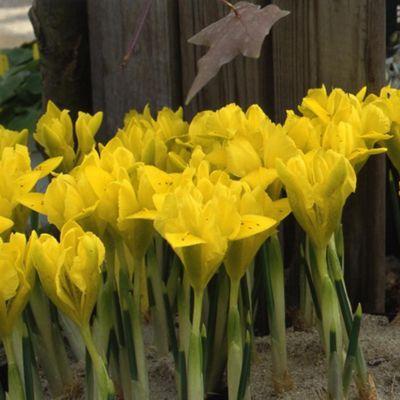 20 x Iris Danfordiae Bulbs - Perennial Spring Flowers