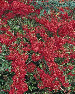 firethorn (syn. Saphyr Red) (Pyracantha Saphyr Rouge ('Cadrou') (PBR))